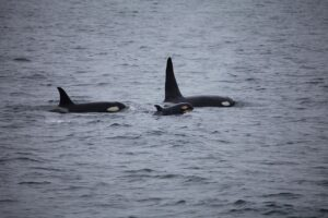 killer whales, orcas, pod